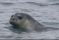 La foca monaca del Giglio