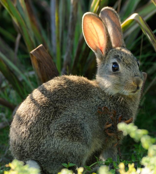 Coniglio rid