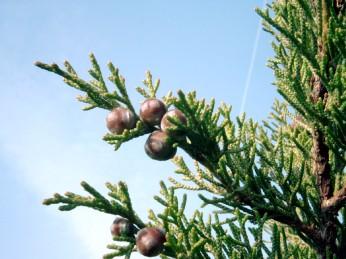 Juniperus_phoenicea